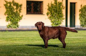I nostri Labrador