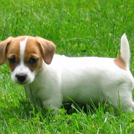 I nostri jack russel terrier