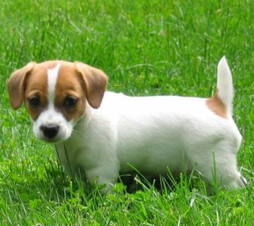 I Nostri Jack Russel Terrier Agricola Santuberto