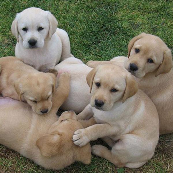 Allevamento E Vendita Cuccioli Di Cane Labrador Villa Santuberto