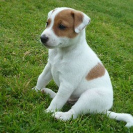 Jack-Russell-Parson