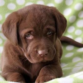 Labrador Retriever Cioccolato