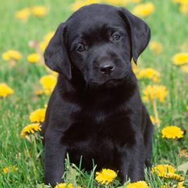 Labrador Retriever Nero